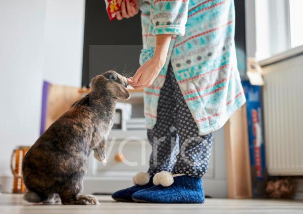 Woman feeding treats to pet house rabbit indoors