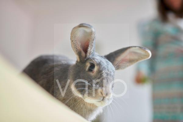 Portrait of grey pet house rabbit