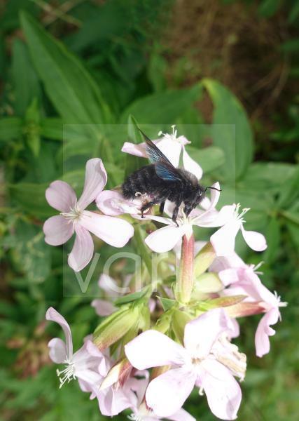 Blauschwarze Holzbiene (Xylocopa violacea) beim Nektar sammeln, Berlin, Deutschland, Europa