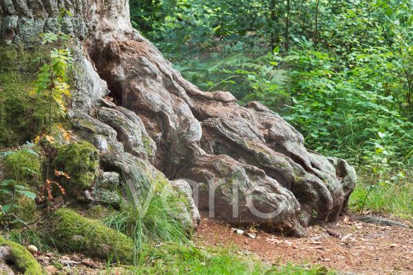 Wurzel einer alten Eiche, Detail, NSG Urwald Sababurg, Hofgeismar, Hessen, Deutschland, Europa