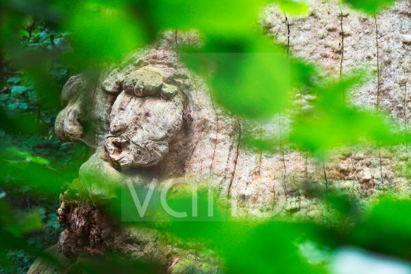 Baumgesicht an einer 800 Jahre alten Buche (Fagus), Urwald Sababurg, Hessen, Deutschland, Hessen, Deutschland, Europa