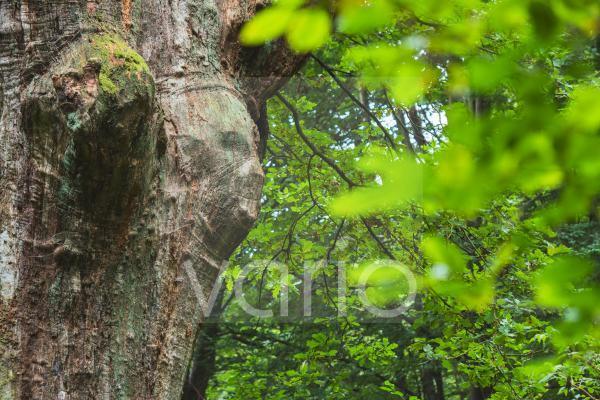 Gesichtsähnliche Verwachsung an einem Eichenstamm (Quercus robur), Hessen, Deutschland, Europa