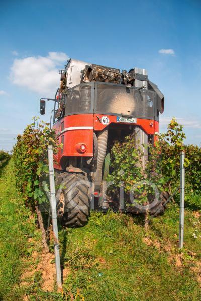Weinlese von Sankt Laurent Rotweintrauben in der Pfalz