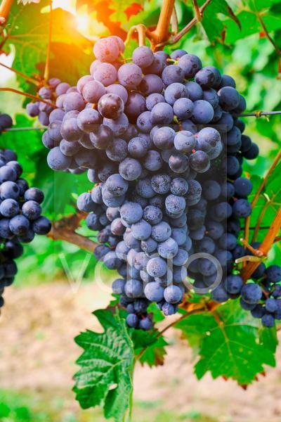 blaue Weintrauben an einem Weinstock in Deutschland