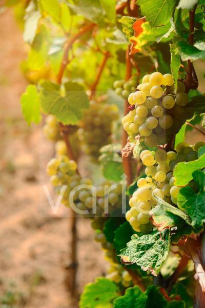 Weinstock in einem deutschen Weinberg
