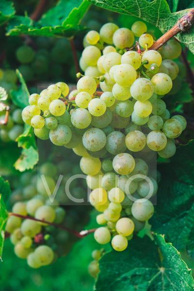 Nahaufnahme eines Perkels grüner Trauben am Weinstock