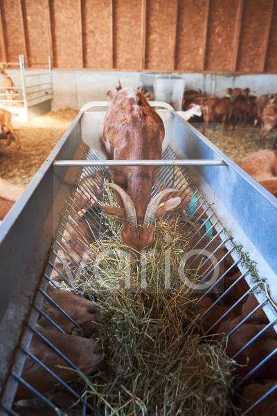 Goat inside of feeder grazing at farm