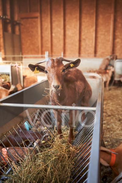Goat eating grass in feeder
