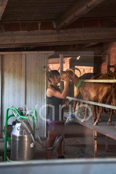 Female farmer stroking goat while milking through machine in farm