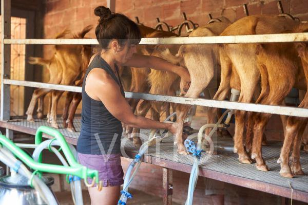 Mid adult female farmer working in goat farm