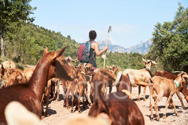 Female shepherd with backpack hiking along goats