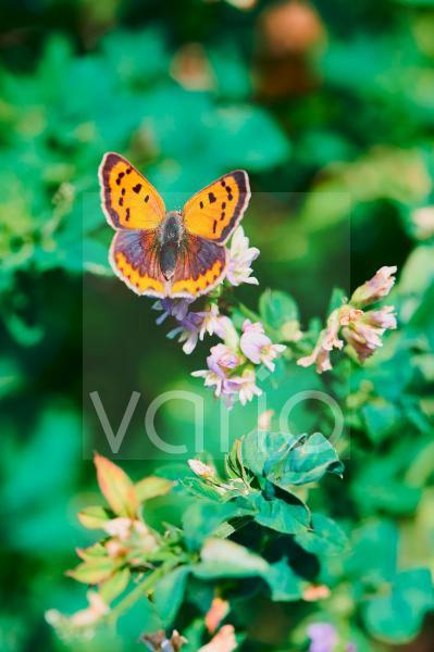 common copper butterfly on a flower in the sunshine