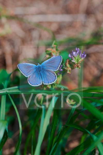 gossamer-winged butterfly on a meadow in the sunshine