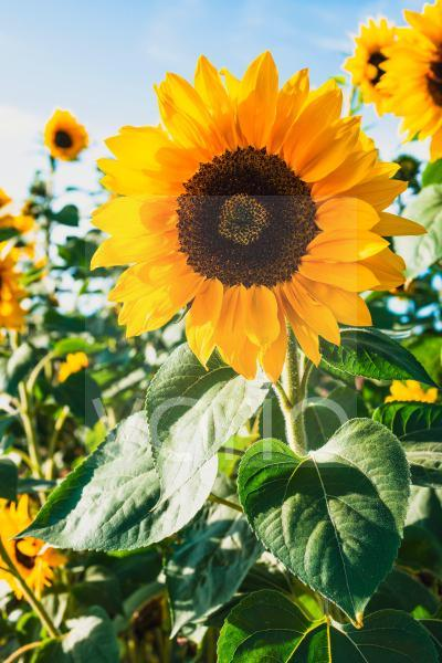 Sonnenblume Nahaufnahme in einem Feld