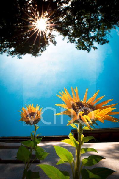blühende Sonnenblumen an einem Haus von einer strahlenden Sonne angestrahlt. Blauer Himmel, Froschperspektive. Die Grünen
