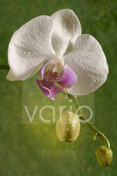 Orchideen; Phalaeonopsis