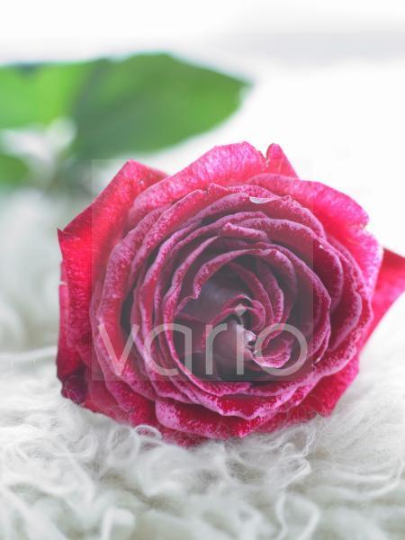 Rote Rosenblüte