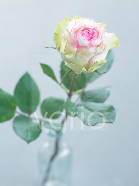 Einzelne weiße Rose
