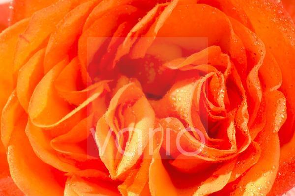 Rosenblüte; orange