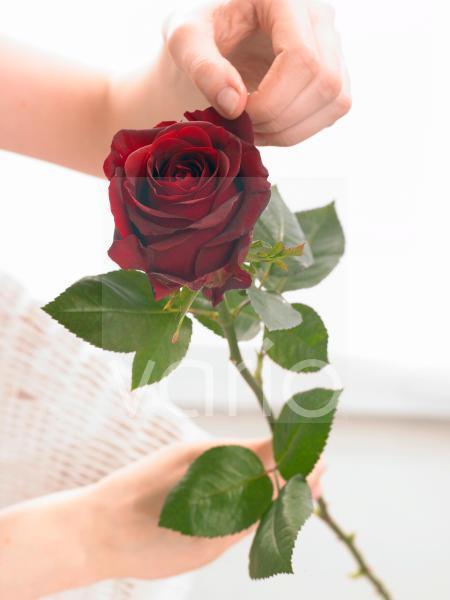 Dunkelrote Rose - mit Hand
