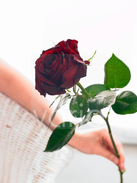 Dunkelrote Rose in der Hand